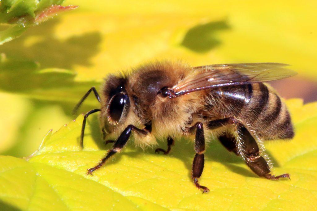 Closeup of a Honeybee (Apis mellifera)