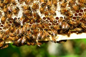 Closeup of honeycomb with bees